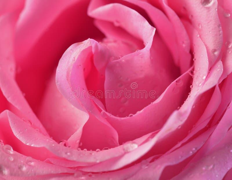 Pink rose bud macro royalty free stock image