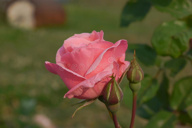 A pink rose bud. A pink rose signifies love and appreciation. Roses are best known as ornamental plants grown for their flowers in the garden and sometimes stock image