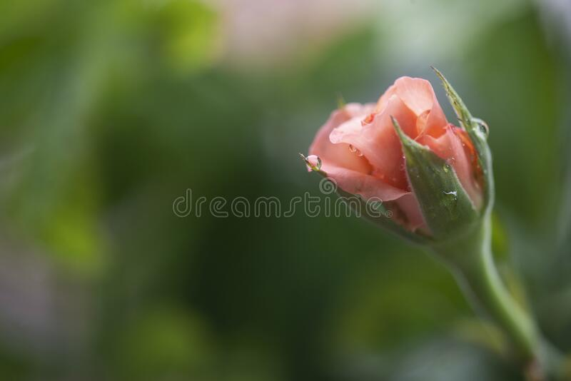 Pink rose bud royalty free stock photos
