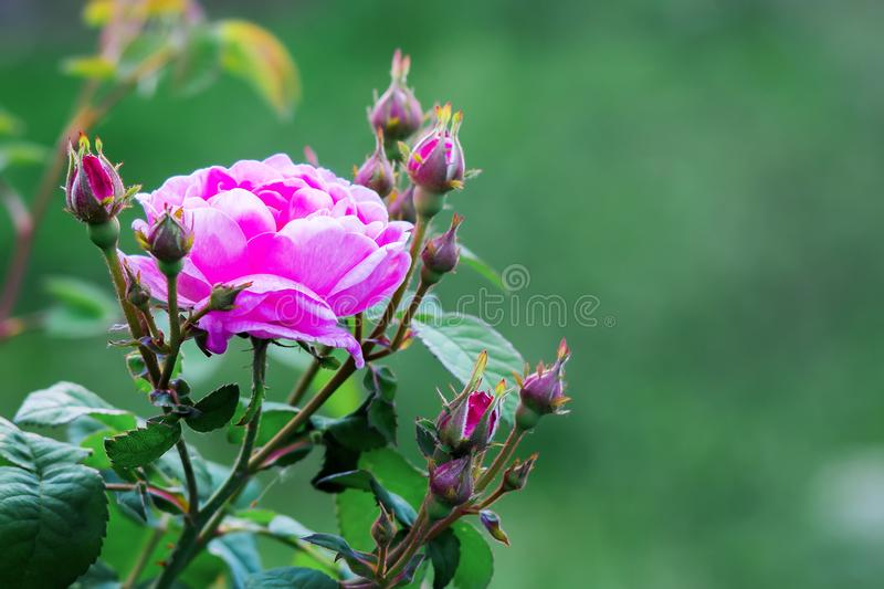 Pink rose with buds in garden on a green blurry background. Flo royalty free stock photography