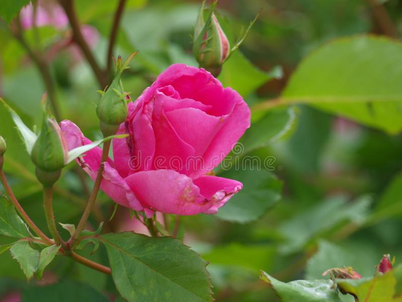 Pink Rose Buds Opening at the Water Works Garden royalty free stock photography