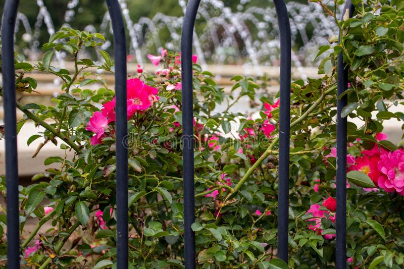 Pink rose bush behind and iron fence royalty free stock images