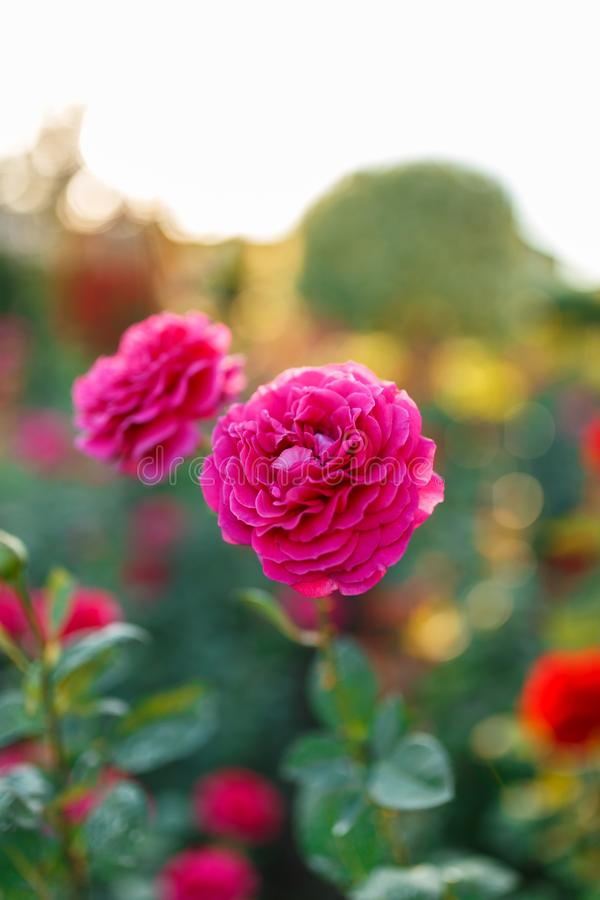 Pink rose bush with flowers and green buds royalty free stock image