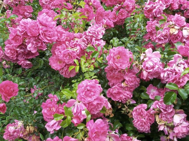 Pink rose bush stock photography