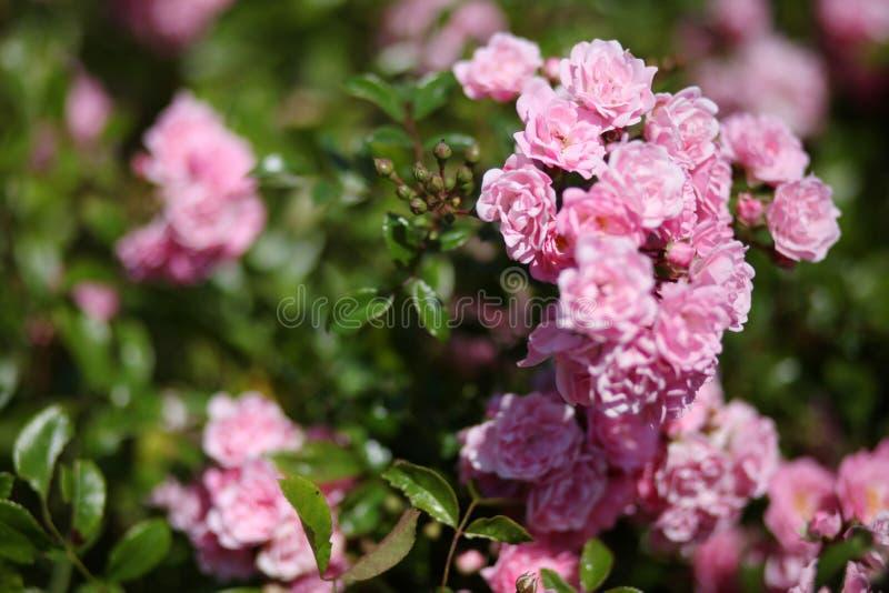 Pink rose bush stock image