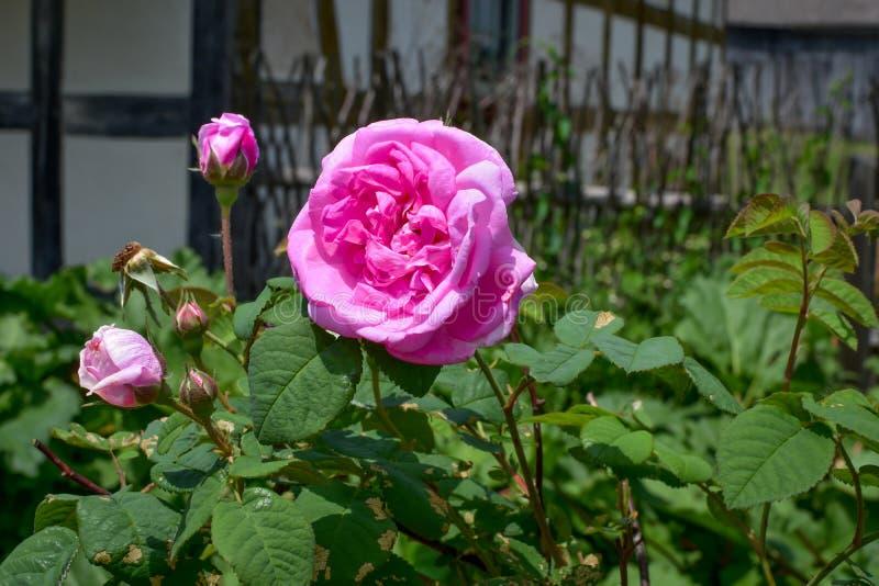 Pink Rose Bush and Rosebuds royalty free stock photo