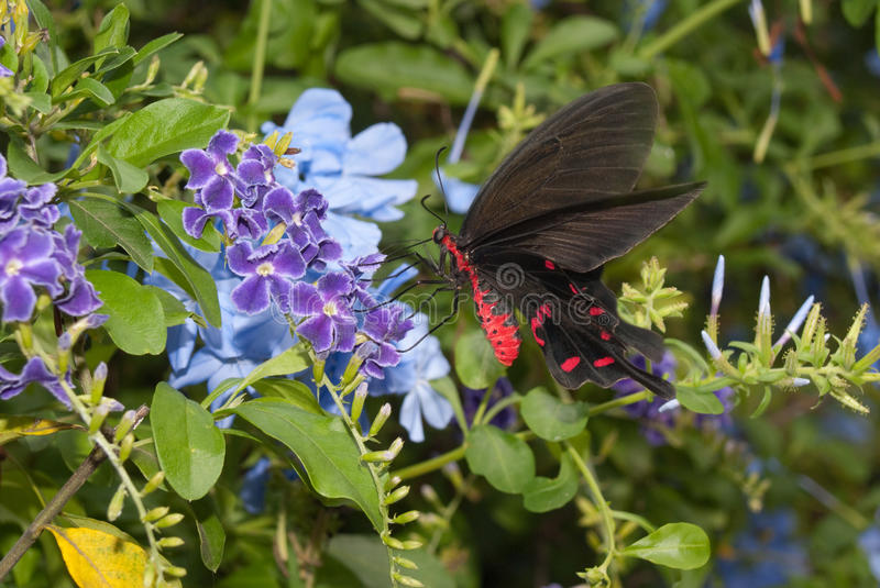 Pink Rose Butterfly. Feeding on nector from blue flowers in garden stock photography