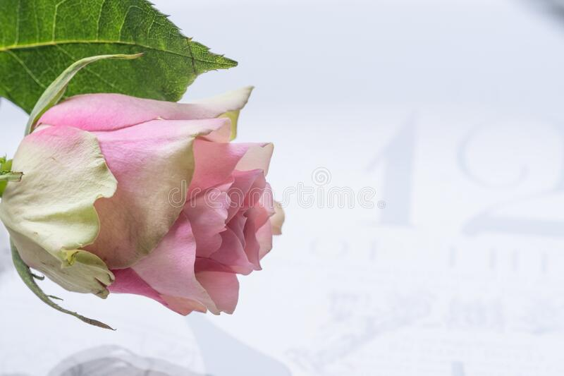Pink rose on a clock face, clock hands.  stock photo