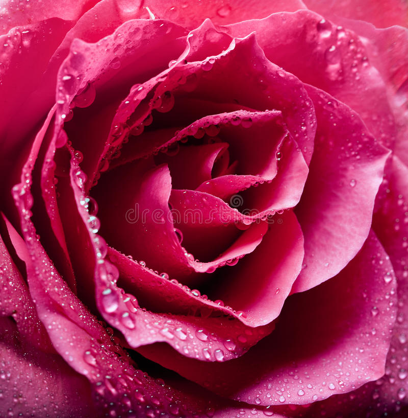 Pink rose close-up. As background stock photography