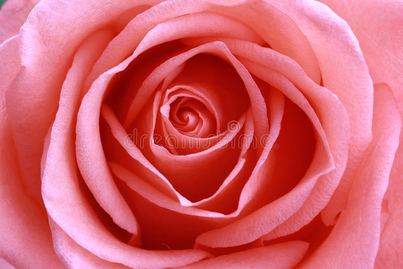 Pink rose close-up. More detail stock images