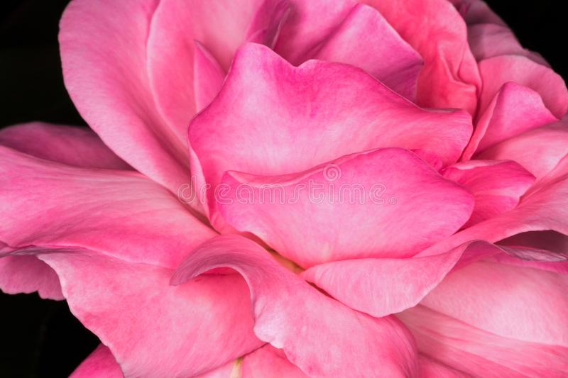 Pink rose. Close-up photo. Rose background and texture photography royalty free stock photography