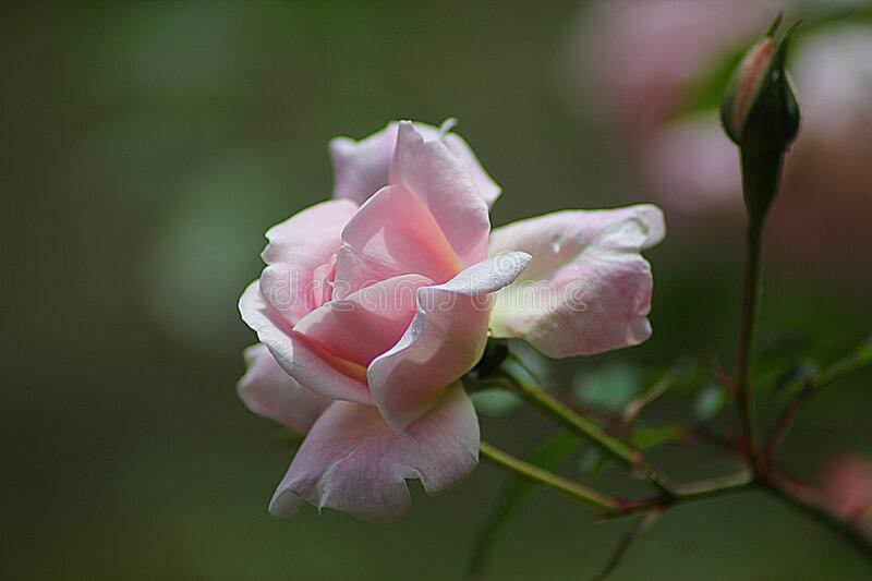 Pink Rose Close Up Photography stock photos