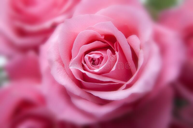 Pink Rose in Close Up View Image stock photography