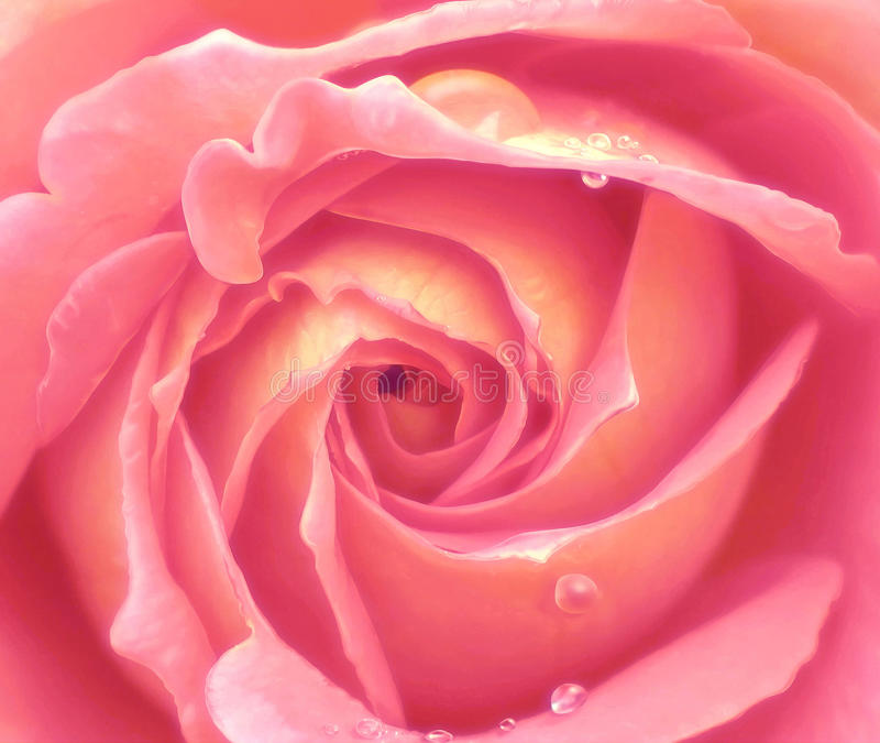 Pink rose close up royalty free stock image