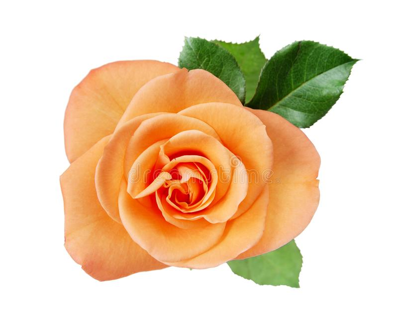 Pink rose closup on white royalty free stock image