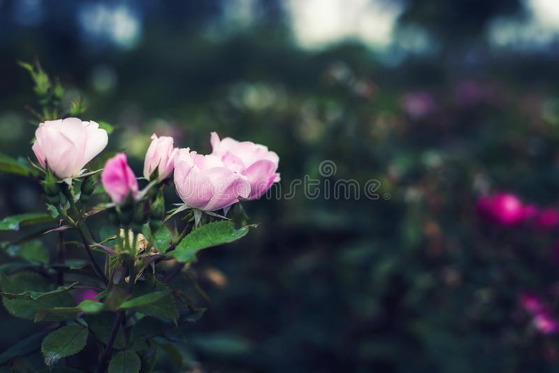 Pink rose color vintage on nature background dark tone with copy space.  royalty free stock photo