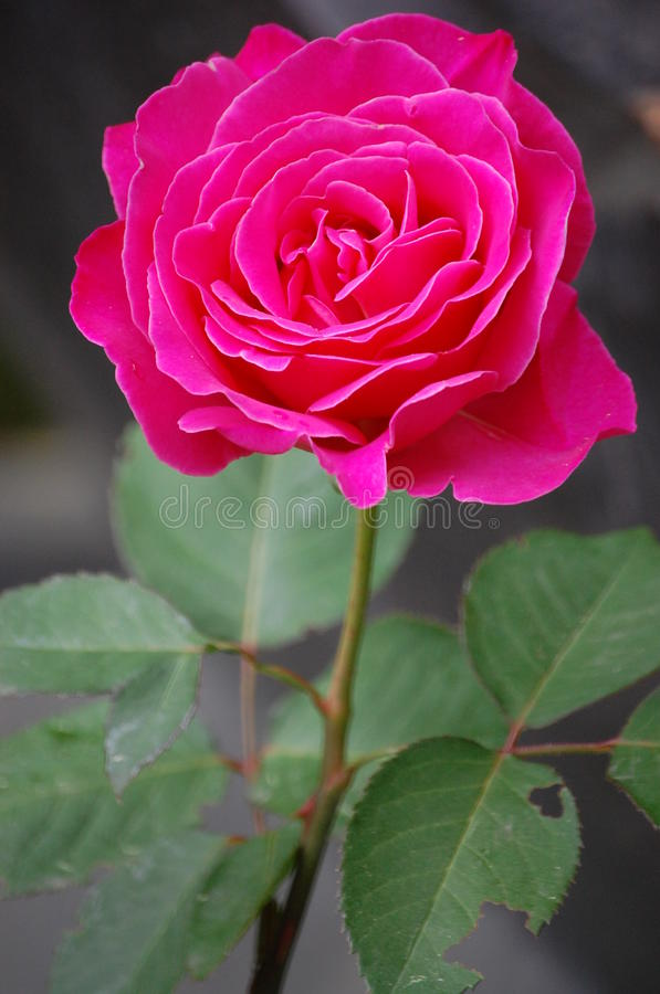 Pink rose. Conveying thoughtfulness, passion, sentiment, and packing contemporary color punch, pink roses are the perfect type of rose for multipurpose occasions stock photography