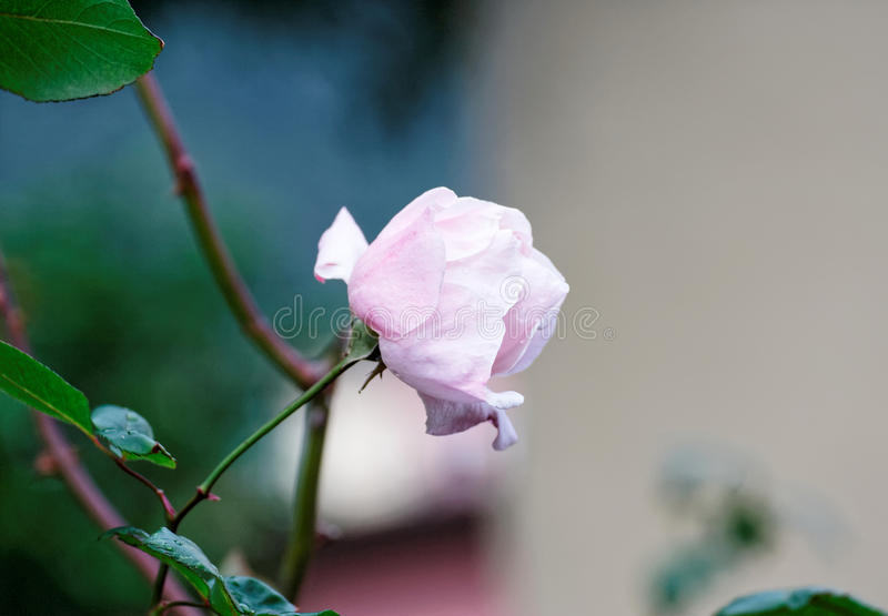 Download Pink rose stock photo. Image of flora, blossom, rose - 83710086