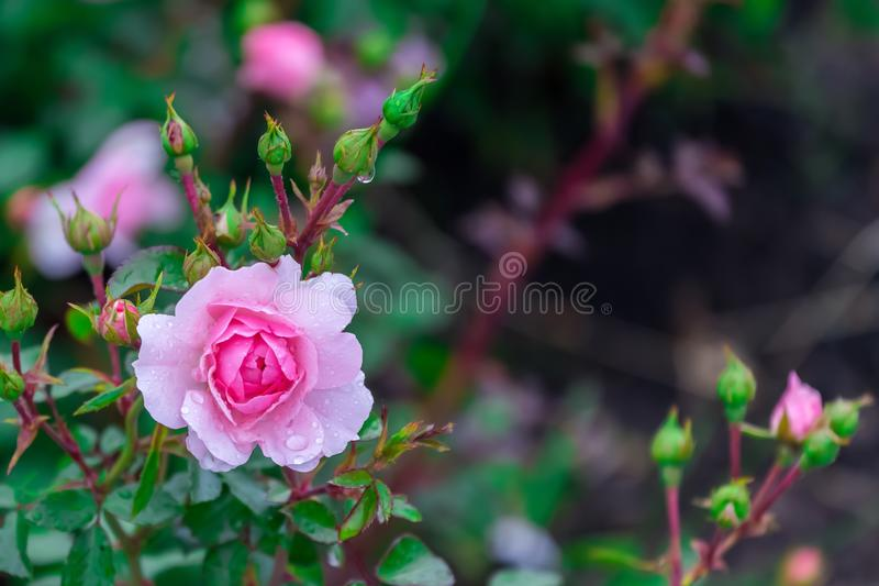 Pink rose with dew drops after rain, close-up picture of a flower.  stock photography