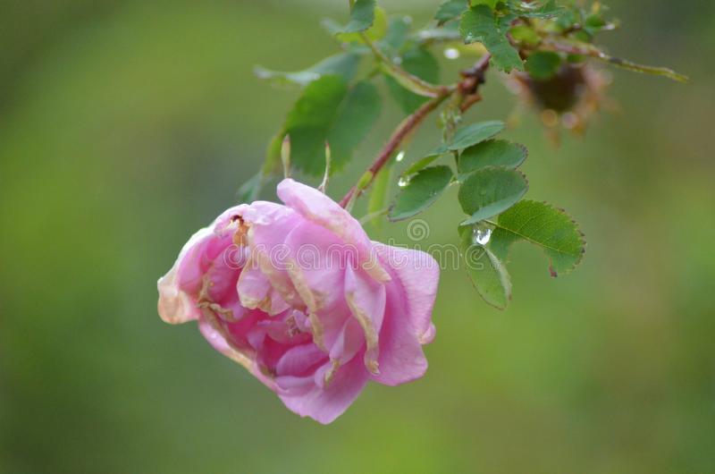 A pink rose with dewy leaves royalty free stock image