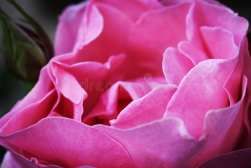 Pink rose and dream stock image