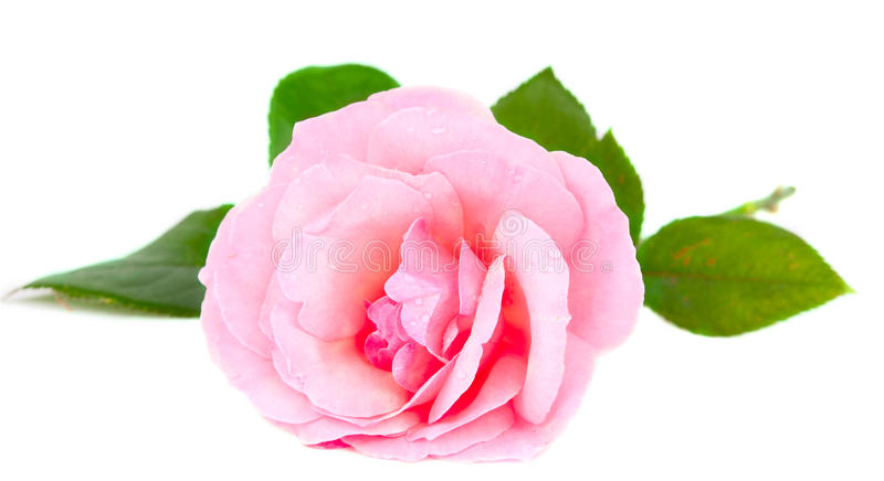 Pink rose with drops. On white background stock image