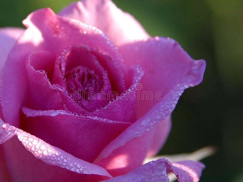 Pink Rose Drops royalty free stock photography