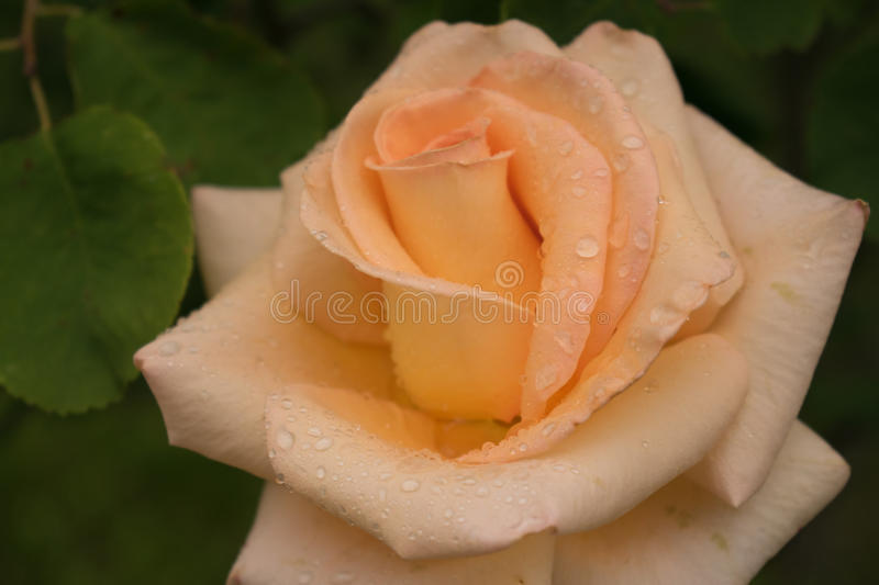 Pink rose with drops of dew on petals. Pink rose with drops of morning dew on tender petals royalty free stock photos