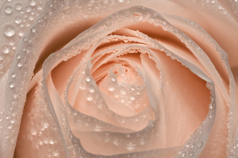 Pink Rose With Drops Of Water Royalty Free Stock Image