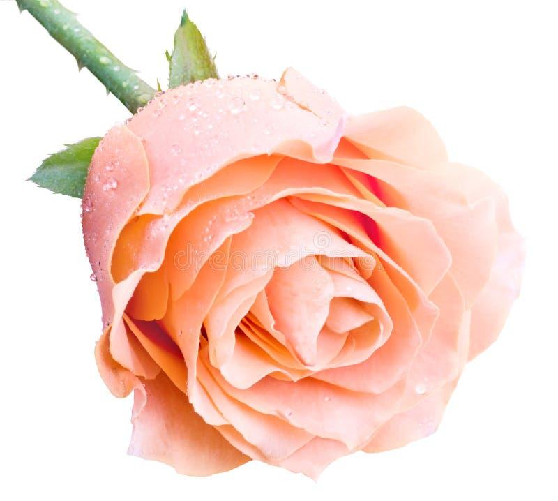 Download Pink Rose Royalty Free Stock Images - Image: 32158099