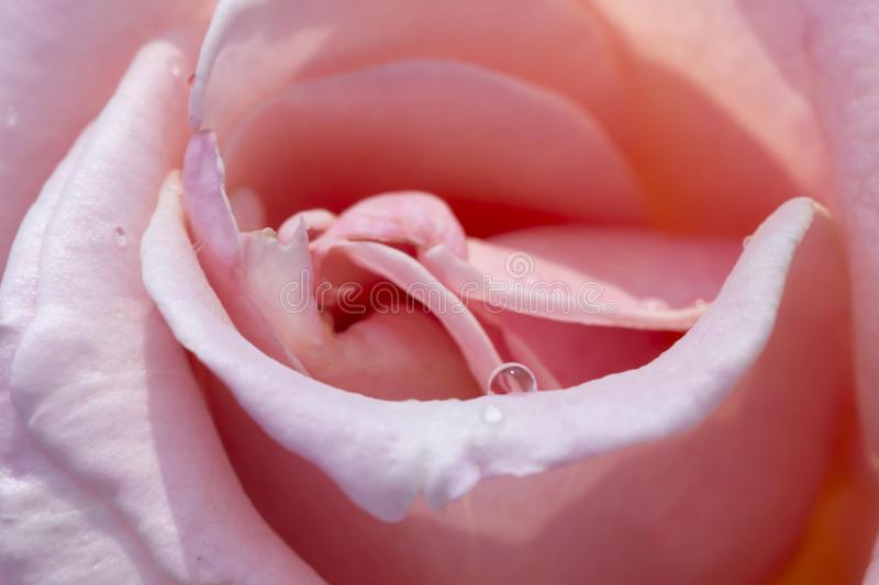 Pink rose with drops water close up. For background flower for Valentine`s day stock image