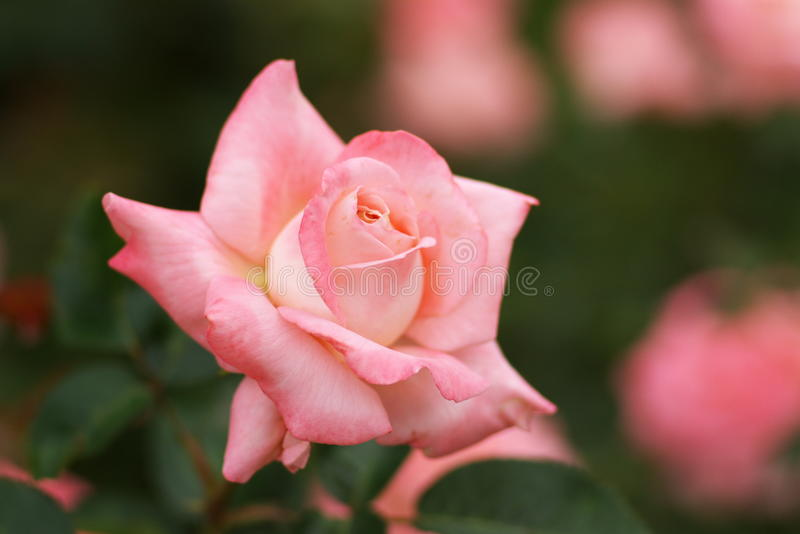 Download Pink rose flower stock image. Image of nature, close - 10485495