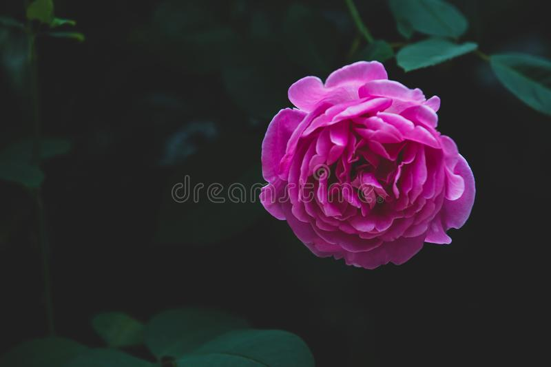 Pink rose flower bloom on a leafs background royalty free stock image
