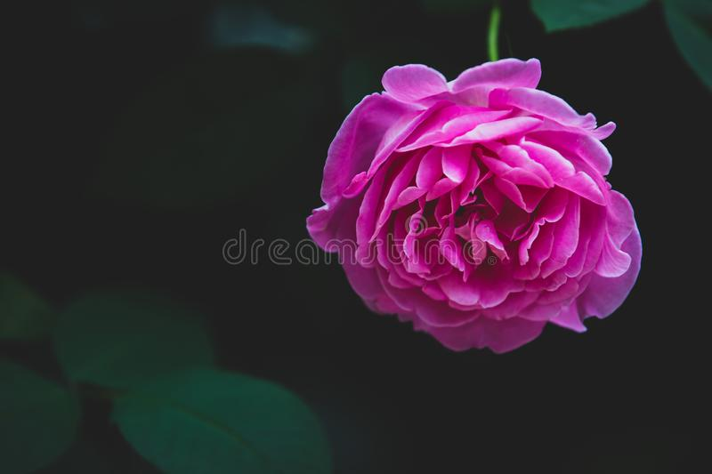 Pink rose flower bloom on a leafs background stock photo