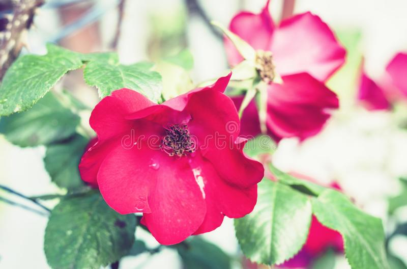 Pink rose flower on the branch in the garden royalty free stock image