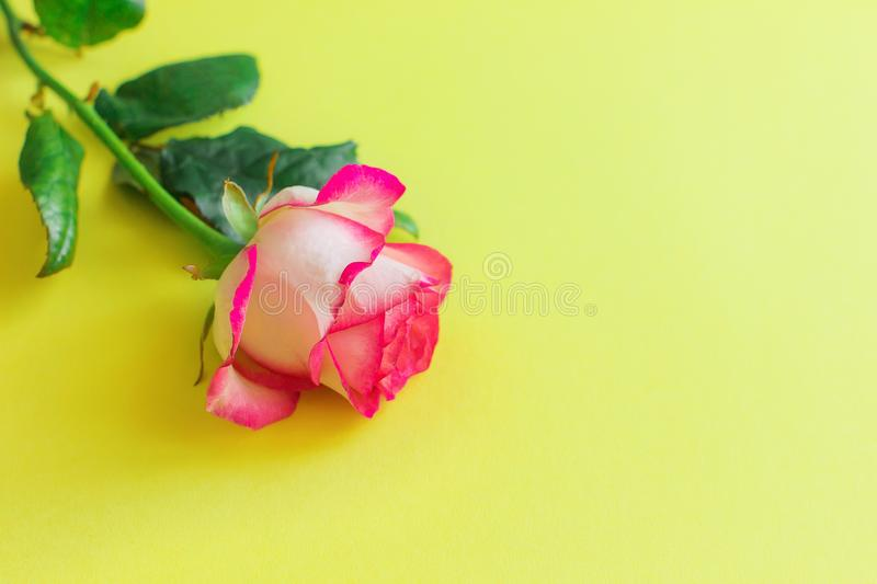 Pink rose flower on a bright yellow background. Horizontally royalty free stock photo