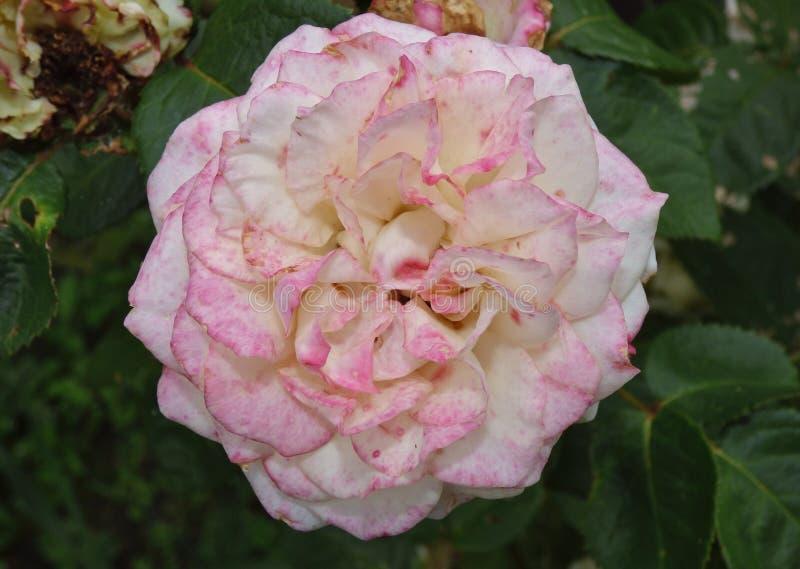 Pink rose detailed shot taken in the UK, close up macro photography. Pink rose in flower detailed shot taken in the UK, close up macro photography stock image