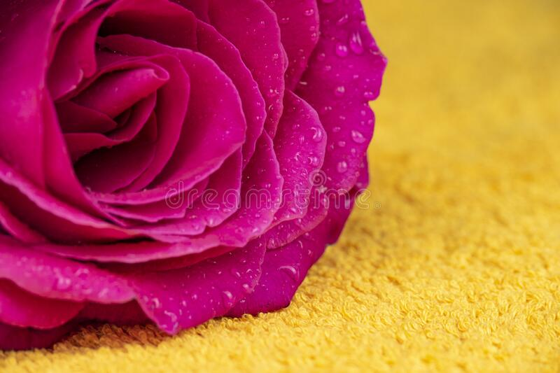 Pink rose flower with dew drops. On a yellow terry towel, closeup royalty free stock images