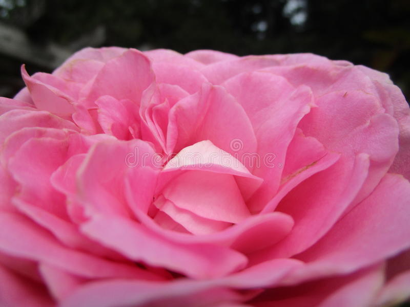 Pink rose flower in garden. Pink rose flower up close from a garden royalty free stock images