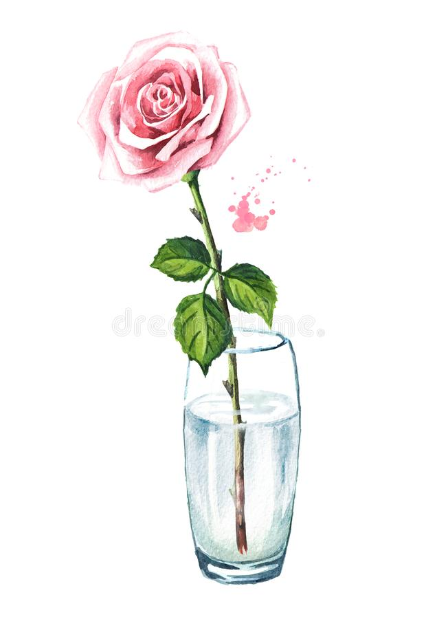 Pink rose flower in a glass vase. Watercolor hand drawn illustration, isolated on white background. stock illustration