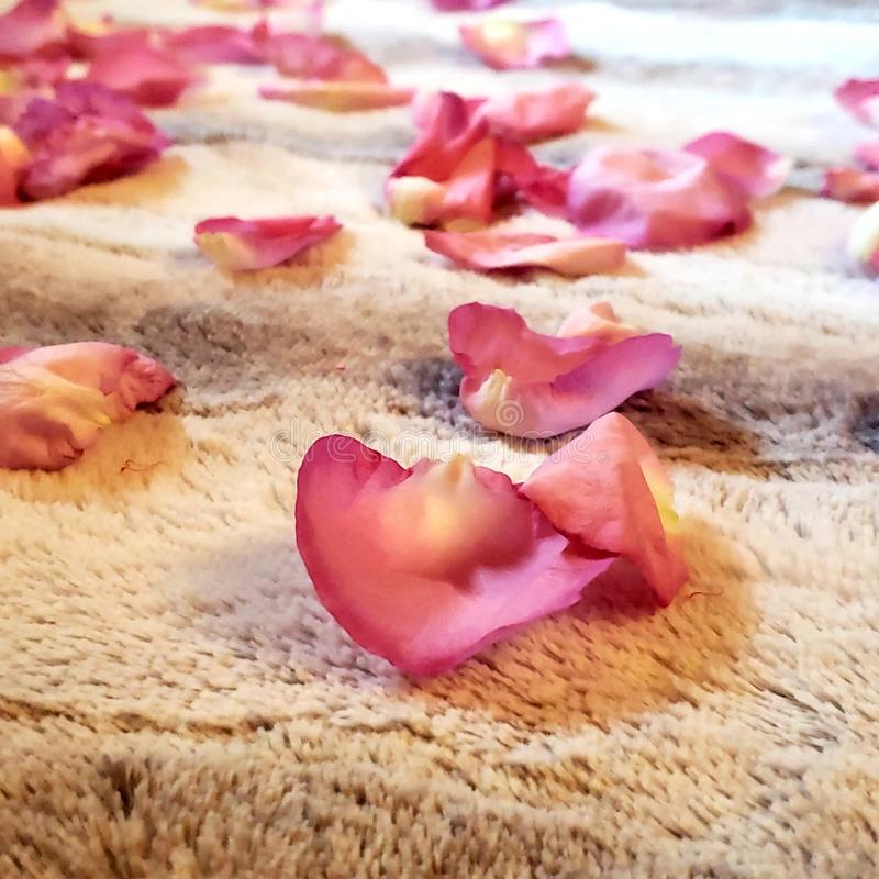 Pink rose flower pedals lying on the ground stock images