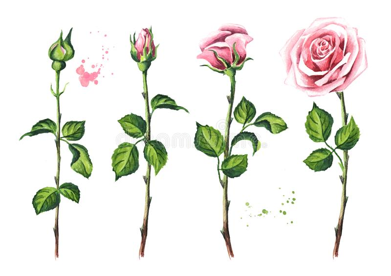 Pink rose flower set. Watercolor hand drawn illustration, isolated on white background. stock illustration