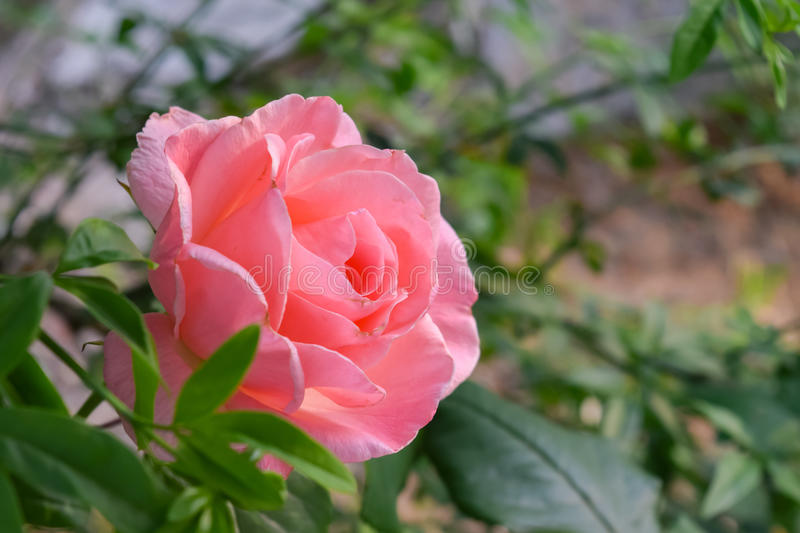 A pink rose flower. A pink rose signifies love and appreciation. Roses are best known as ornamental plants grown for their flowers in the garden and sometimes stock photography