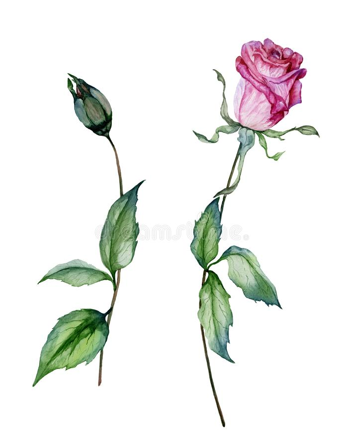 Pink rose flower on a twig. Beautiful floral set flower and closed bud on stems with green leaves. Isolated on white background stock illustration