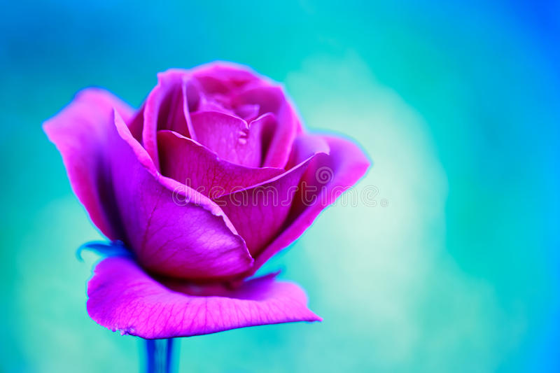 Pink rose flower. Unusual pink rose flower on turquoise background royalty free stock photos