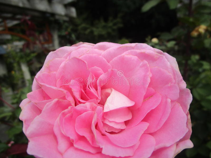 Pink rose flower in garden. Pink rose flower up close from a garden royalty free stock image