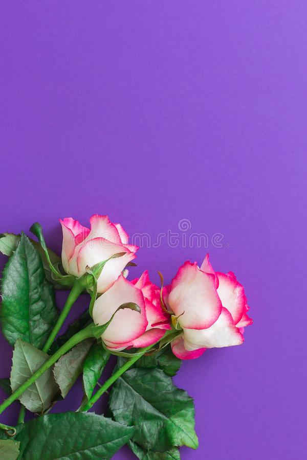 Pink rose flower on a violet background top view. Vertical. Pink rose flower on a violet background top view. Flat lay style. Closeup. Vertical royalty free stock photo