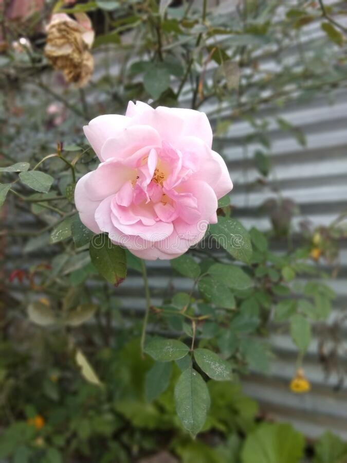 Pink Rose Flowers royalty free stock images