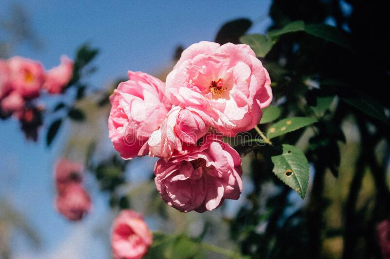 Pink rose flowers in bloom stock photography