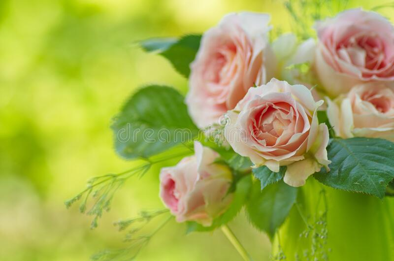 Pink rose flowers close-up on a green background royalty free stock photos